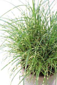 Miscanthus 'Bandwidth' (Darwin Perennials)