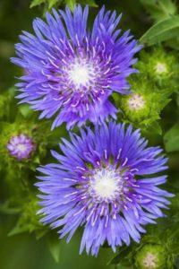 Stokesia 'Blue Frills'