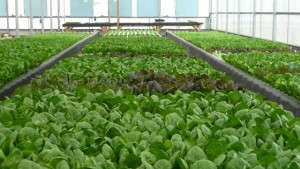 Clean Fresh Food Increases Productivity With LumiGrow LED Greenhouse Light Solution