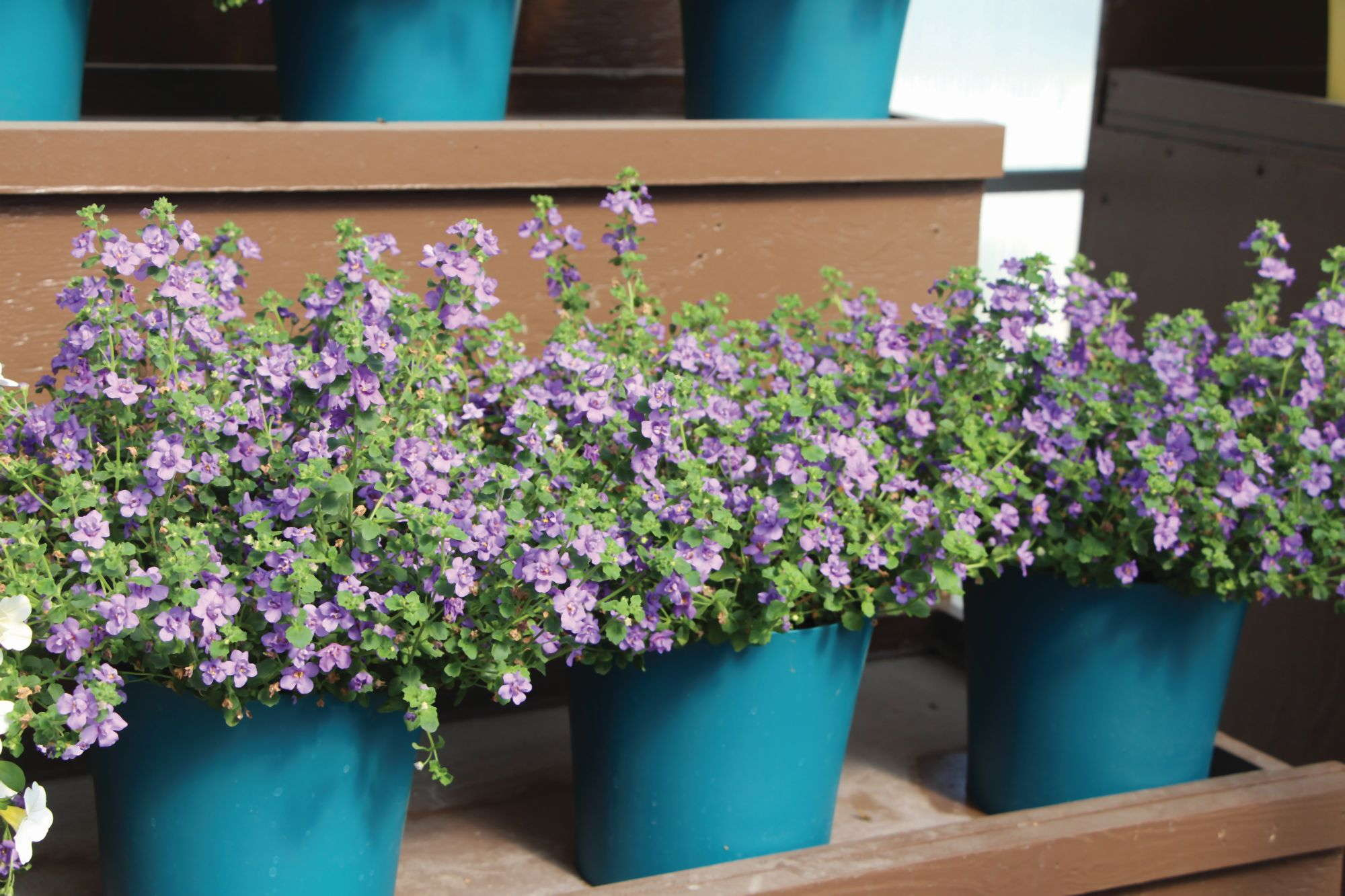 California Spring Trials: New Annuals For Your 2015 Season [Slideshow]