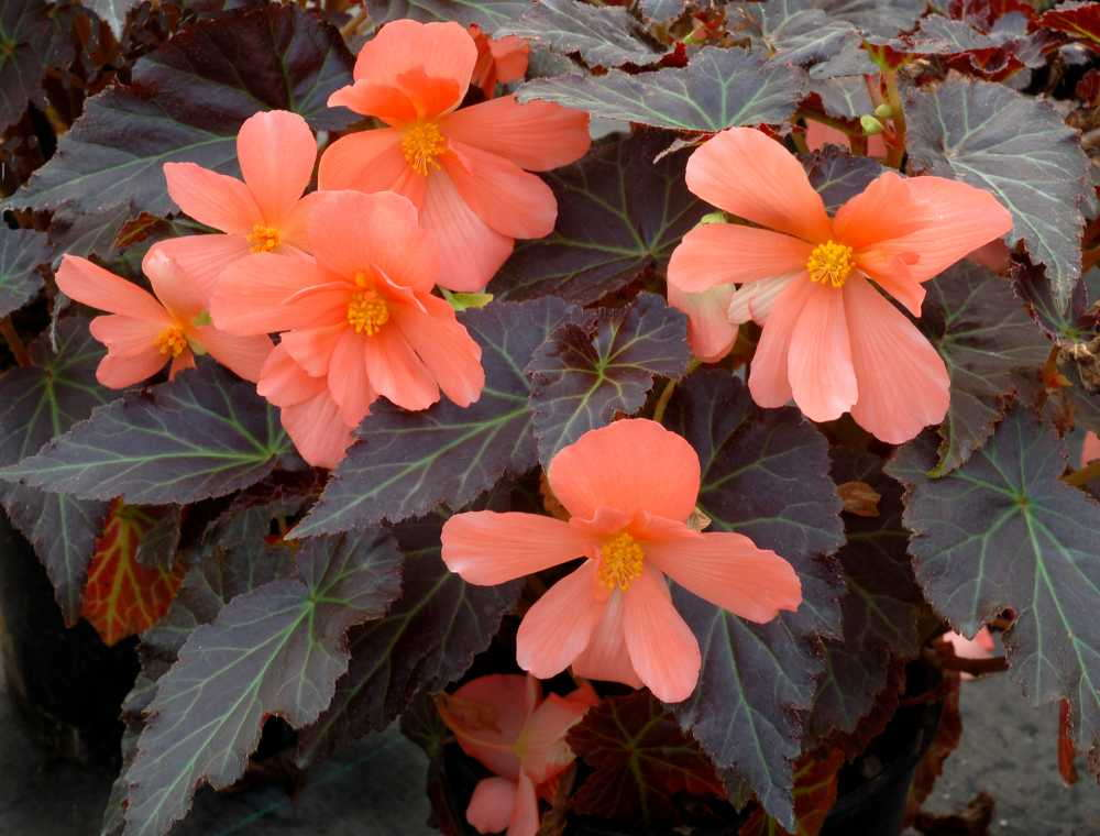 New Begonia Variety And Coleus Series, Plus Two Lobelia Reintroductions From Terra Nova Nurseries
