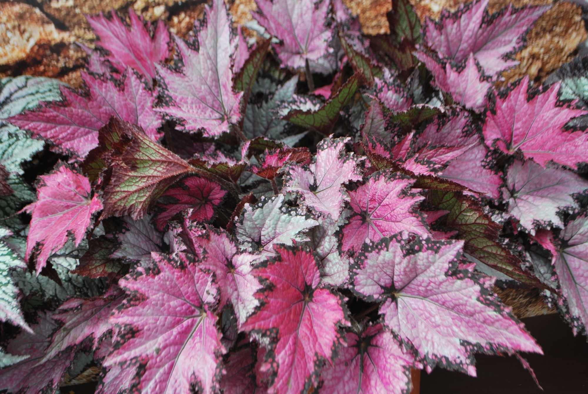 Begonia Jurassic Pink Shades, Ball 2014