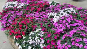 Ball Horticultural Company, KeyGene Announce Successful Genome Sequencing of Impatiens
