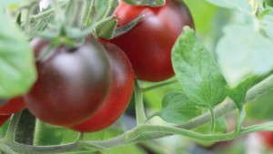 California Spring Trials: 10 New Edible Varieties To Consider For 2015 [Slideshow]