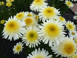 Leucanthemum 'Real Glory' from PlantHaven