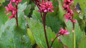 New Genus Sneak Peek From Terra Nova Nurseries, Mukgenia Nova 'Flame'