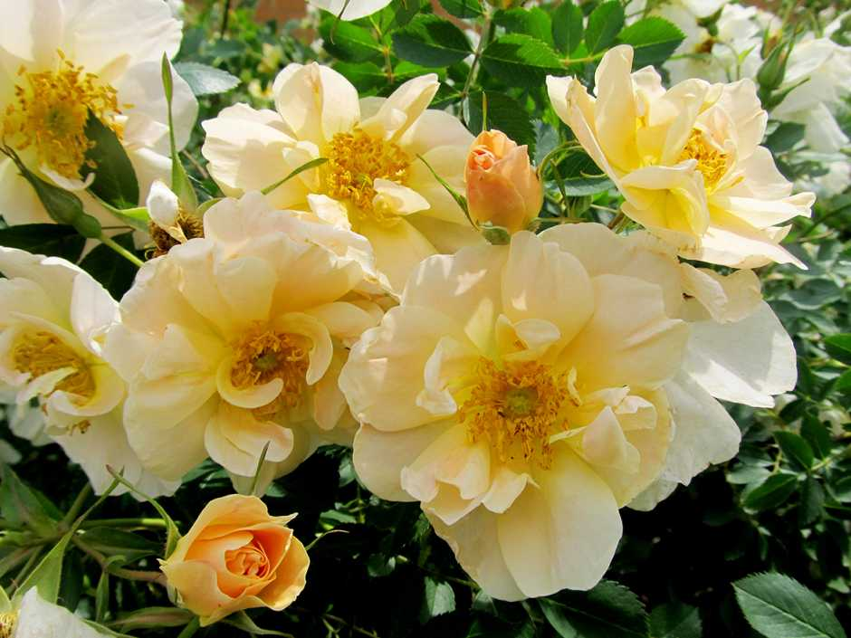 Rosa 'First Editions Above and Beyond' (Bailey Nurseries)