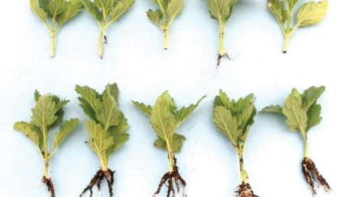 Want Better Rooting During Propagation? Try A Fungicide. [Sponsor Content]