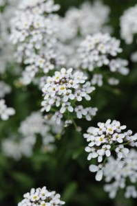 2014 New Varieties Guide (perennial) - Iberis 'White Heat' (Darwin Perennials)