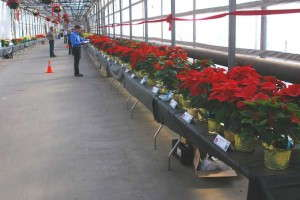 Penn Poinsettia trial