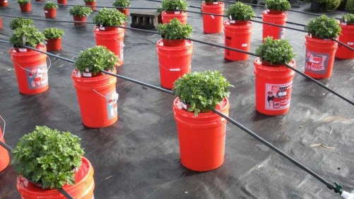 Using Controlled Release Fertilizers To Produce Garden Mums