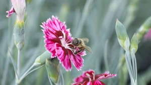 PlantHaven Introduces New Whetman Dianthus Varieties For 2015