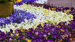 Sakata Seed Uses California Spring Trials Display Plants To Give Back