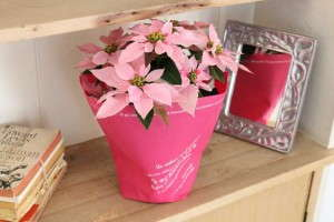 Euphorbia 'Princettia Pink' (Suntory Flowers)