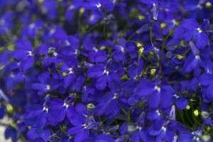 2014 New Varieties Guide (perennial) Lobelia 'Hot Royal Blue' (Westflowers)
