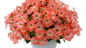 Genetically Modified Petunia Update: Breeders Take Swift Action, USDA Requires Import Authorization
