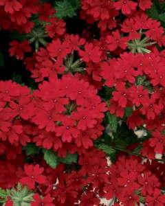 2014 New Varieties Guide (annual) - Verbena 'Superbena Royale Red' (Proven Winners)