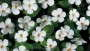 Snowstorm® Giant Snowflake Sutera from Proven Winners