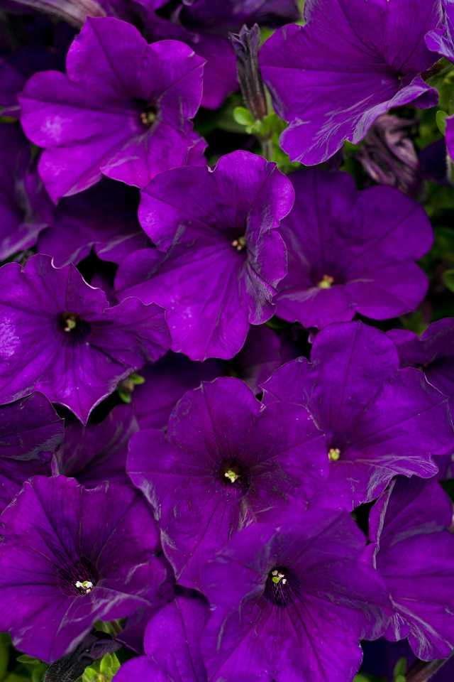 Supertunia® Royal Velvet Petunia from Proven Winners