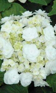 Hydrangea-WeddingGown-10099-BallOrnamentals