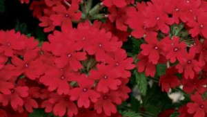 Growing Tips For Verbena
