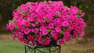 Greenhouse Grower 2014 New Varieties Guide: Petunias [Slideshow]