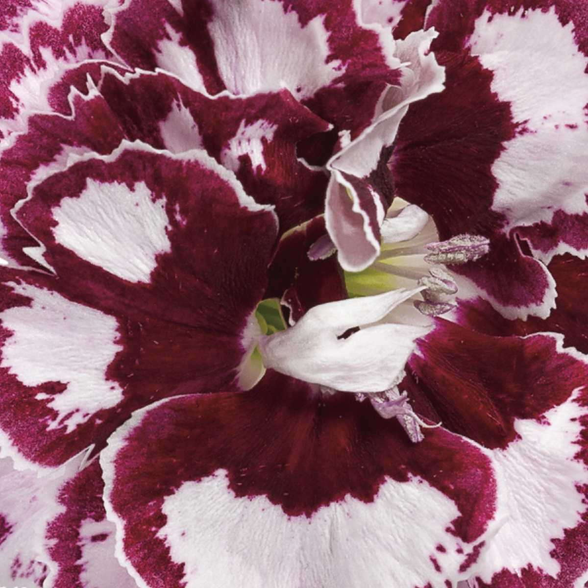 Dianthus FRUIT PUNCH® 'Coconut Punch' Proven Winners