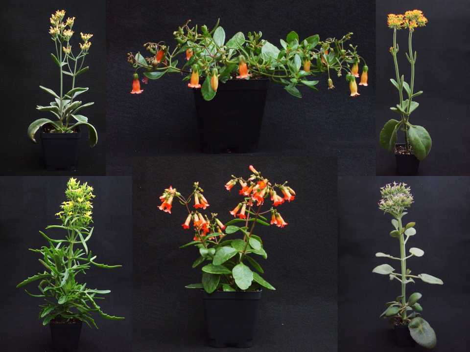 Basics & Beyond: New Kalanchoe For Cultivation