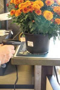 Potted Mums At Retail