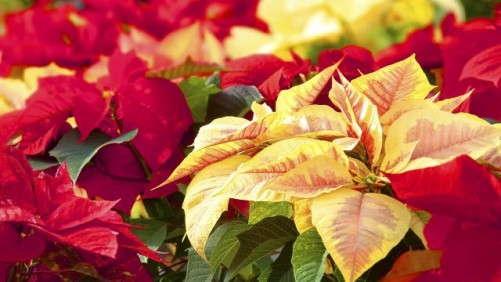 Poinsettia Sales Kick In For 2014