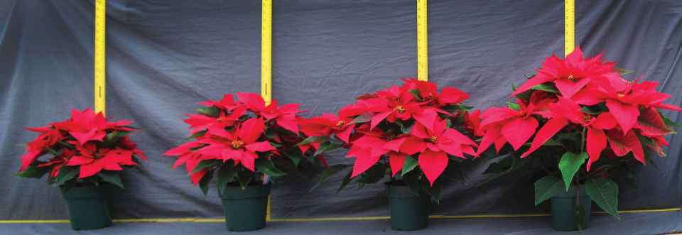 Picture 2, poinsettia height control