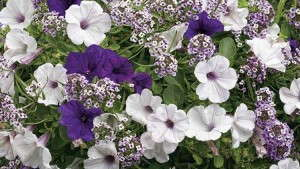 Supertunia® Royal Velvet Petunia Supertunia® Mini Silver Petunia Blushing Princess® Lobularia Perfect for a gardener who prefers purple blooms! A wonderful spring combination and a strong seller for Mother's Day. Features Proven Winners' most popular Supertunia—Royal Velvet.