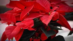 Poinsettia 'Charon Red'