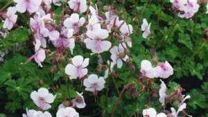 Geranium Hybrid 'Biokovo' Dubbed 2015 Perennial Plant Of The Year