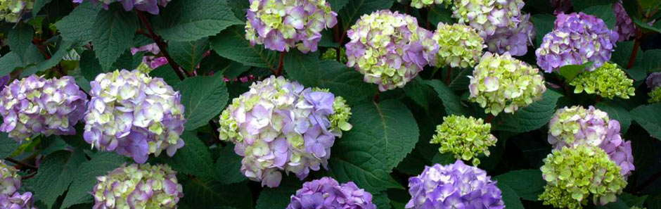 Hydrangea Endless Summer Bloomstruck From Bailey Nurseries