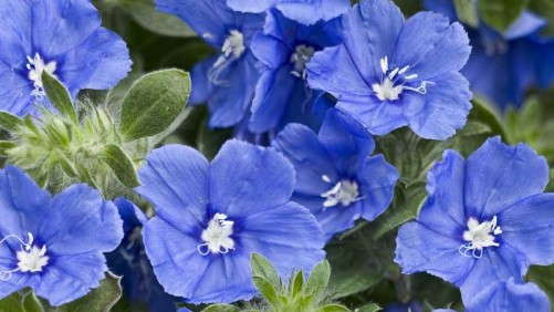 Blue Ribbon Bloomers For Greenhouse Production