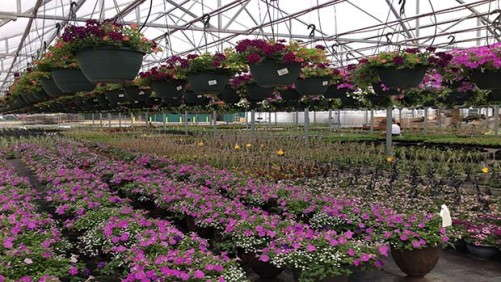 Sole-Source Lighting In Horticulture: Bedding Plant Plug Production