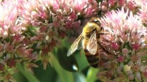 Bee on a Sedum