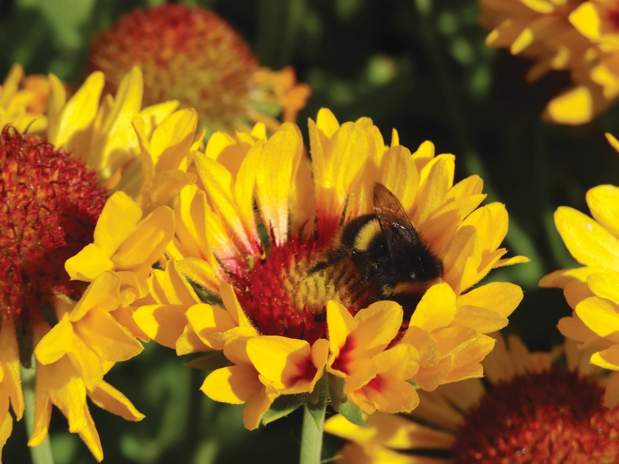 Gaillardia 'Fanfare Citronella Imp' (PlantHaven)