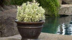 Lavandula 'Meerlo' (Sunset Western Garden Collection)