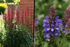 Digitalis 'Foxlight Ruby Glow' and Salvia 'Blue Marvel' (Darwin Perennials)