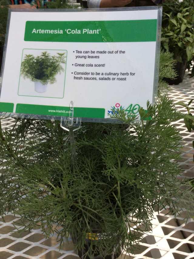 Artemisia 'Cola Plant' (Hishtil)