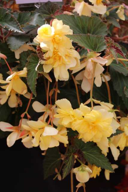 Begonia ×tuberhybrida 'Illumination Lemon'