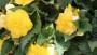Begonia ×tuberhybrida 'NonStop Joy Yellow' (Benary)