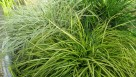 Carex 'Eversheen' (Hoffman Nursery)