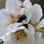 CrownBees_Blue-Orchard-Bee-Female_Artz