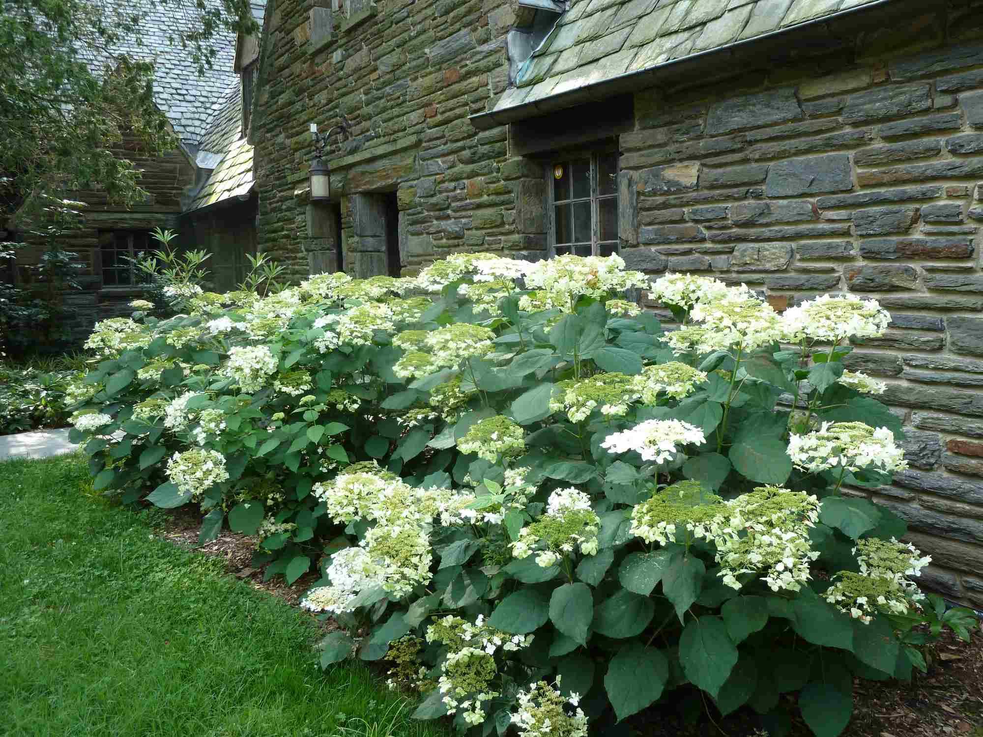 Hydrangea arborescens 'Haas Halo' (Plants Nouveau)