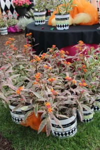 Hort Couture_Asclepias Monarch's Promise