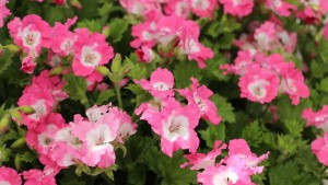 PAC Elsner_Pelargonium 'Bermuda Pink'