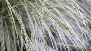 Lomandra-Platinum-Beauty-Ball